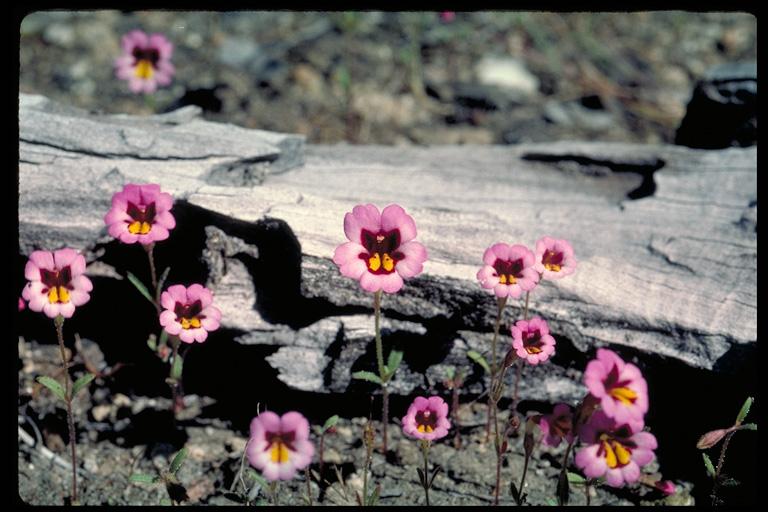 Mimulus filicaulis