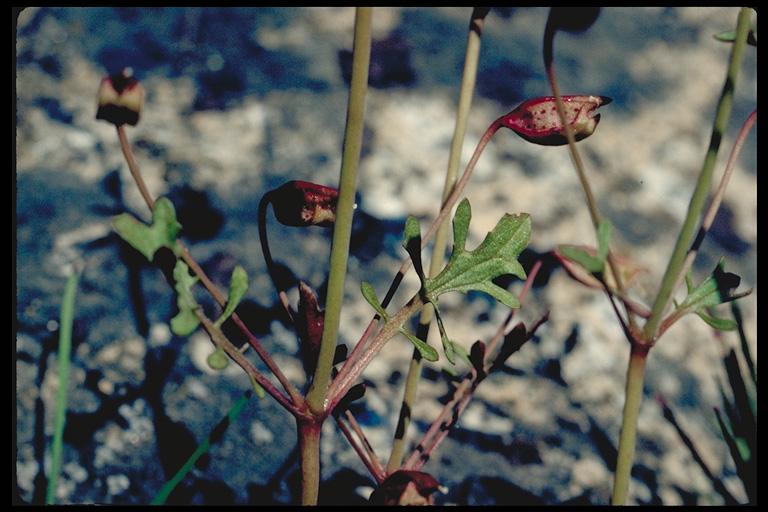 Mimulus laciniatus