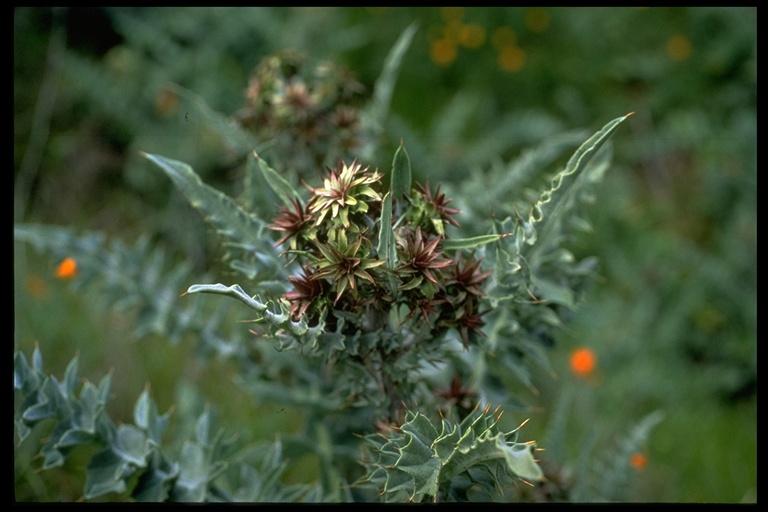Cirsium campylon image