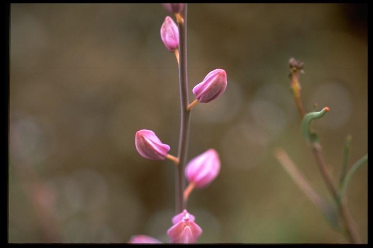 Streptanthus glandulosus ssp. glandulosus