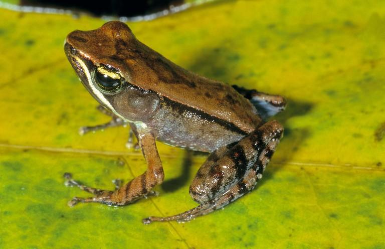 CalPhotos: Mantidactylus albofrenatus