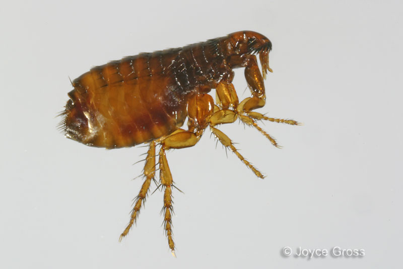 Image Result For Can Cat Flea