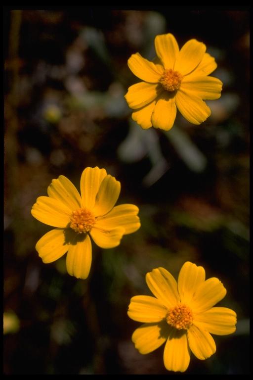 Coreopsis image