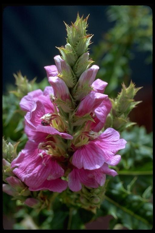Acanthus pubescens image