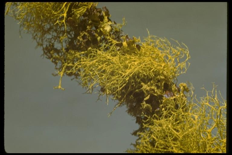 Letharia gracilis image