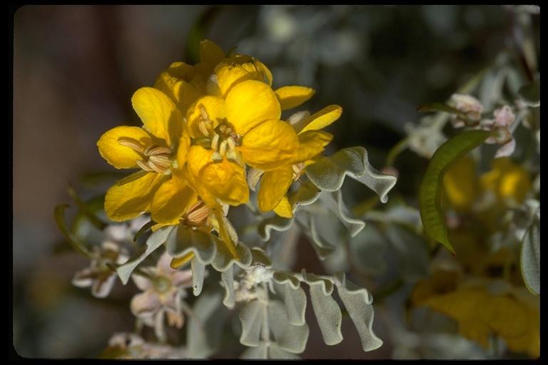 Cassia helmsii image