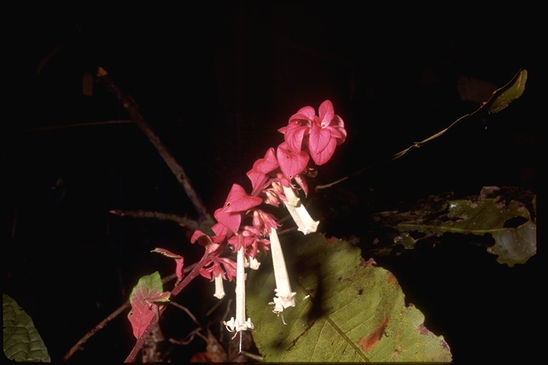 Caprifoliaceae image