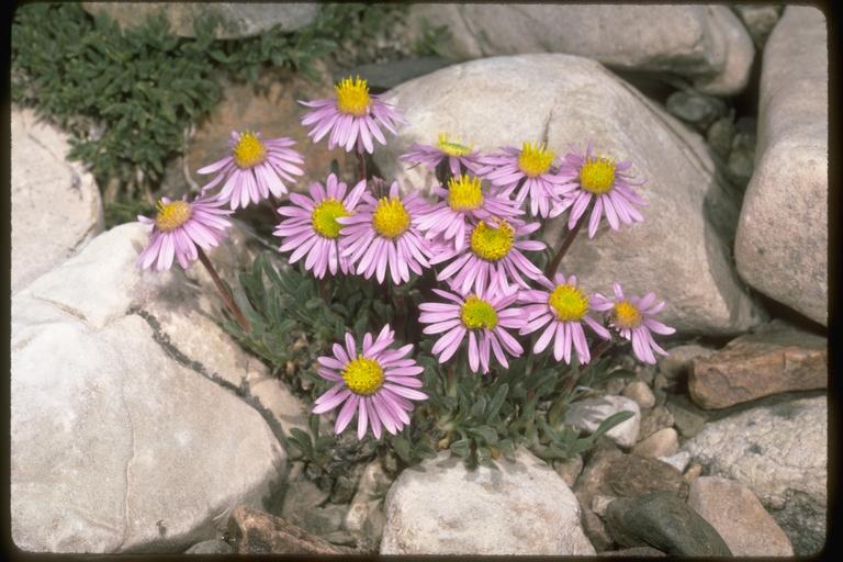 Ionactis alpina image