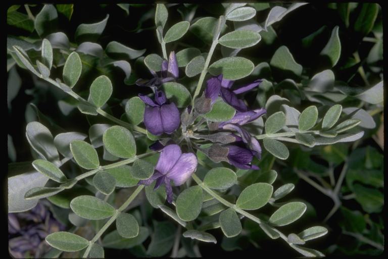 Calia secundiflora