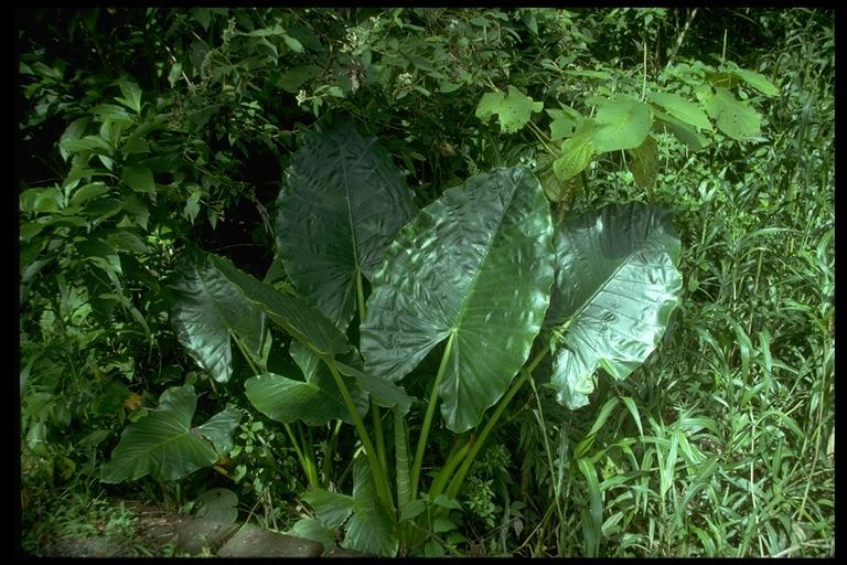 Alocasia image