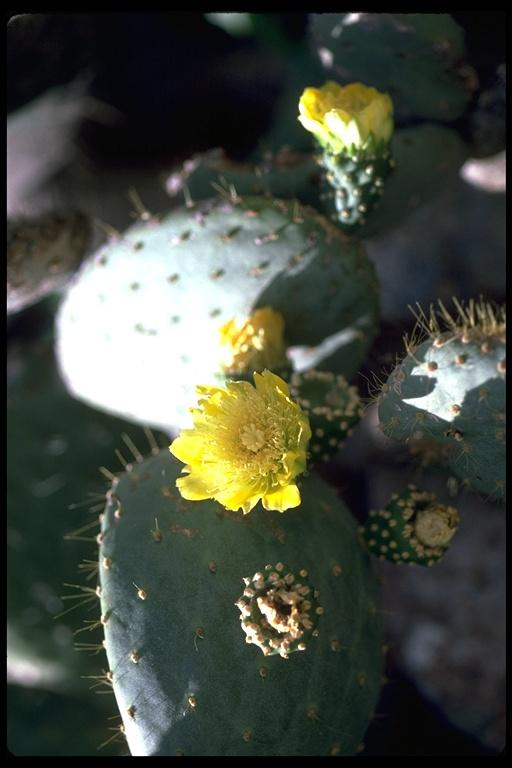 Opuntia insularis image