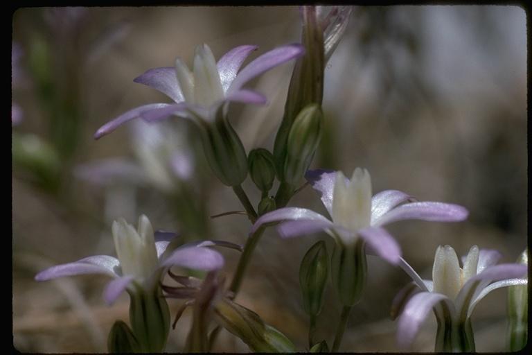 Brodiaea pallida image
