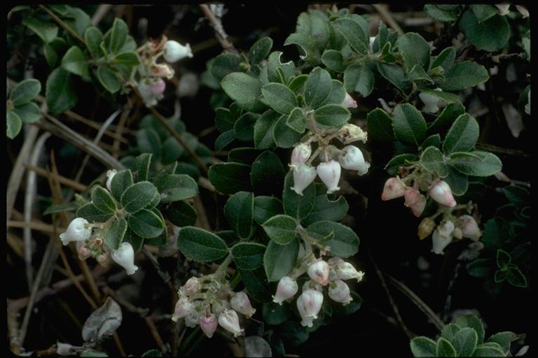 Arctostaphylos edmundsii image