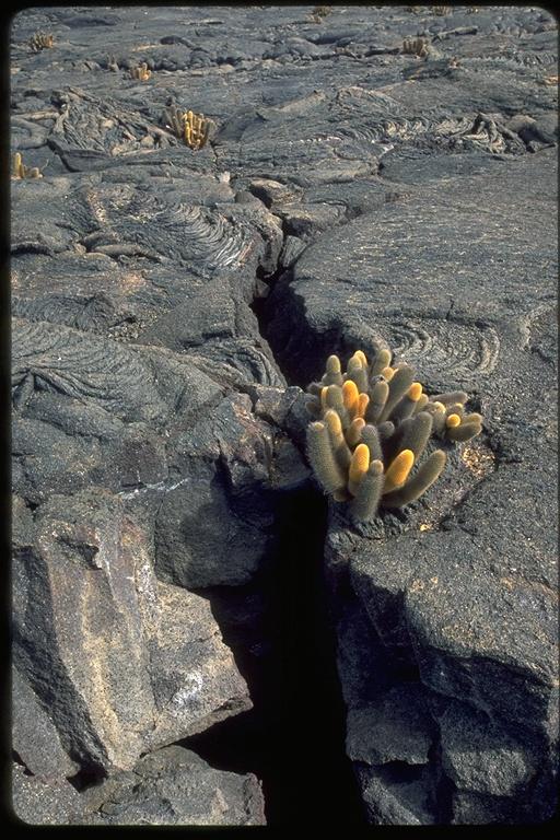 Cactaceae image