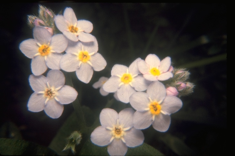 Myosotis latifolia image