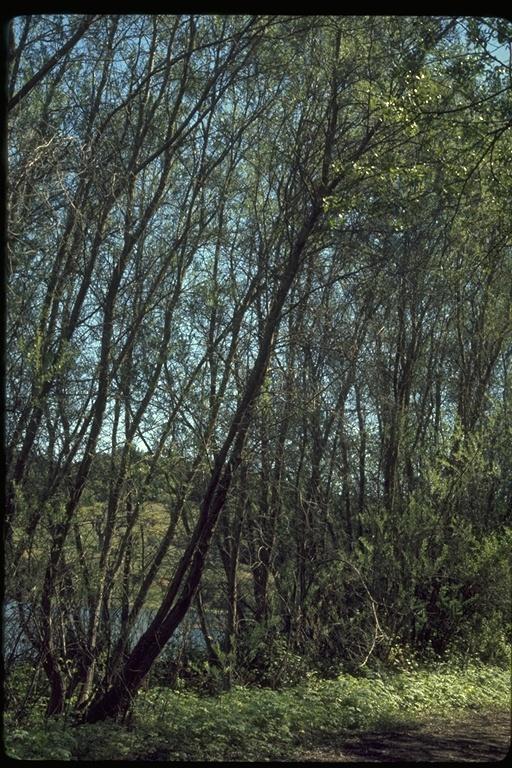 Salix hindsiana