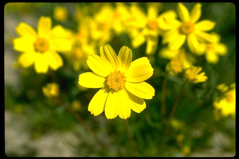 Coreopsis bigelovii