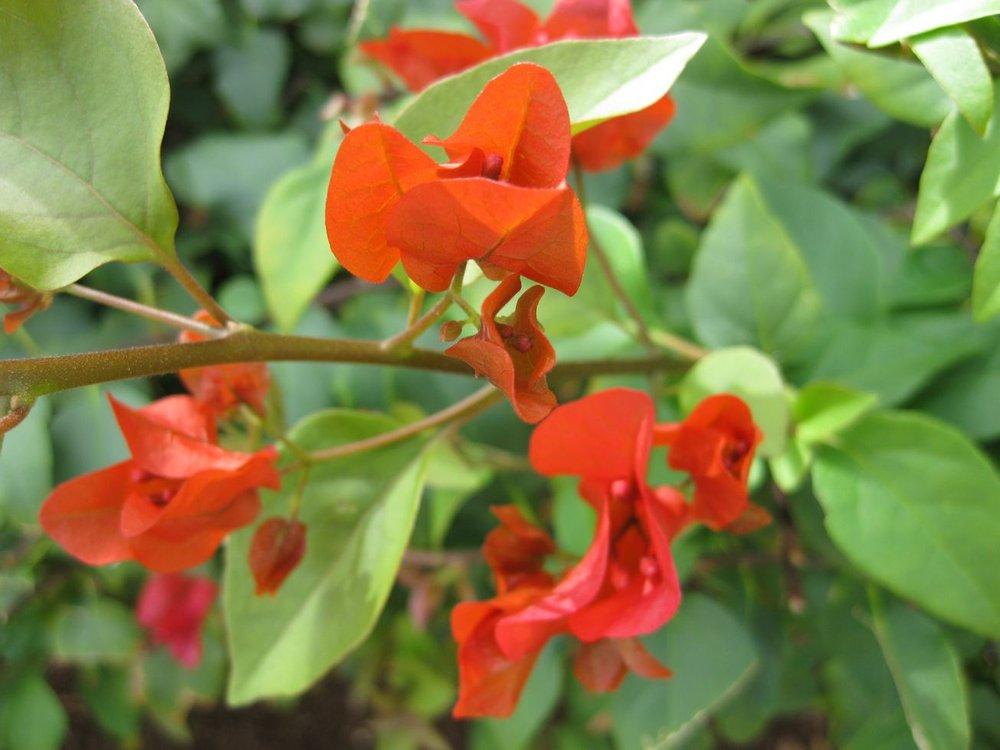 Bougainvillea spectabilis