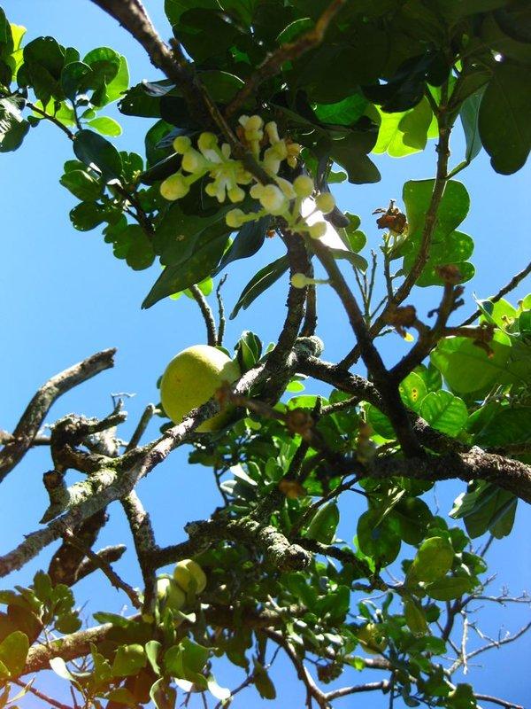 Citrus grandis image