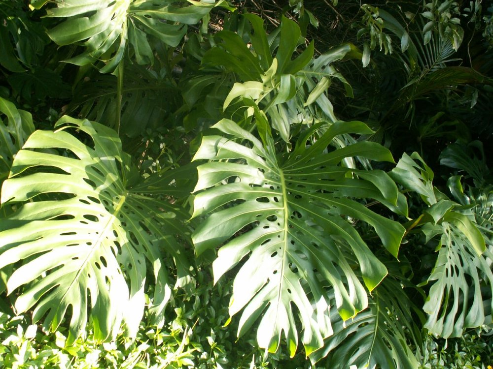 Monstera image
