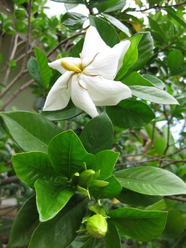 Gardenia thunbergia image