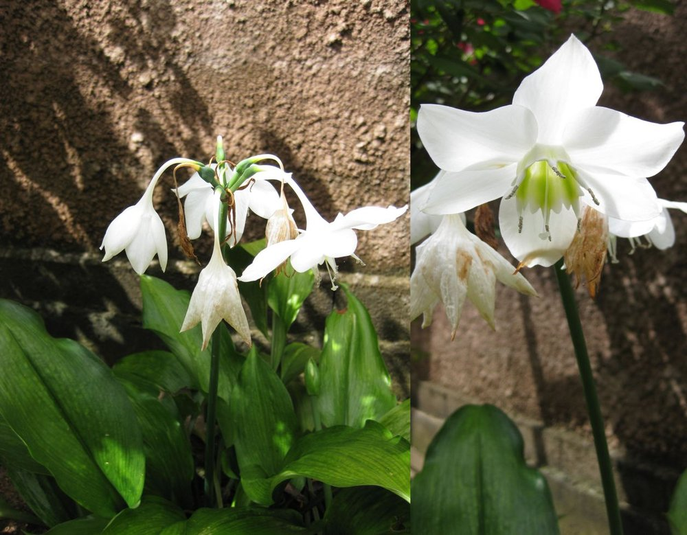 Eucharis image