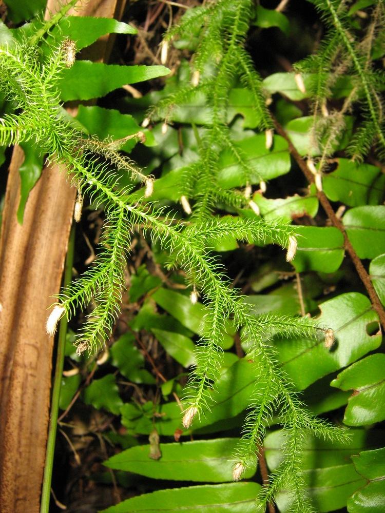 Lycopodiella image