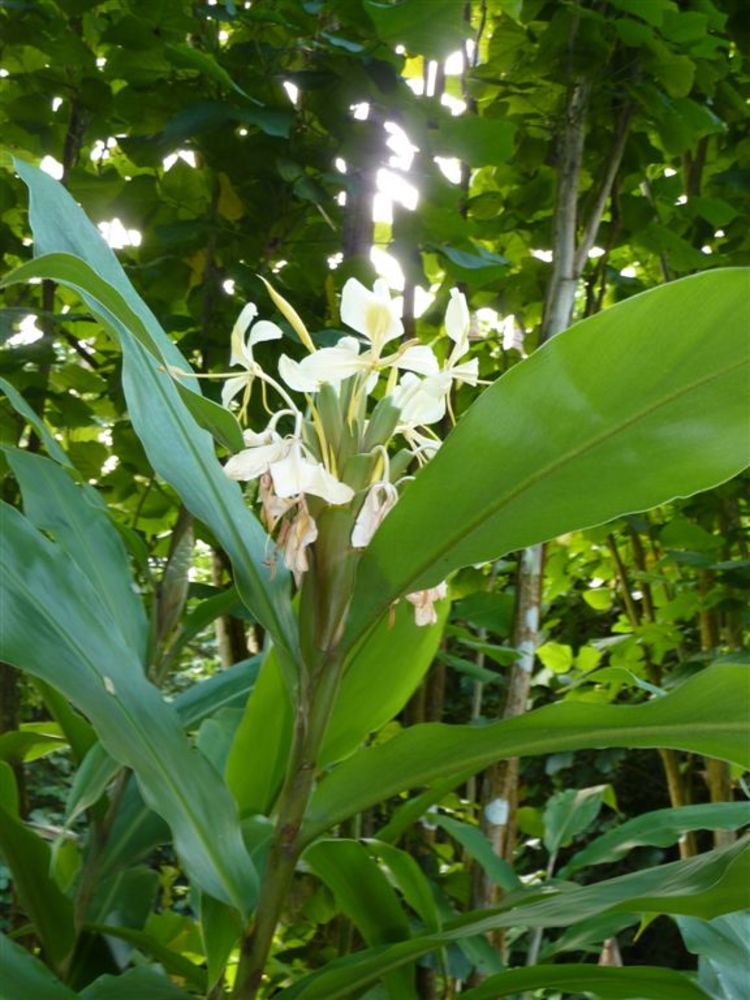 Hedychium flavescens