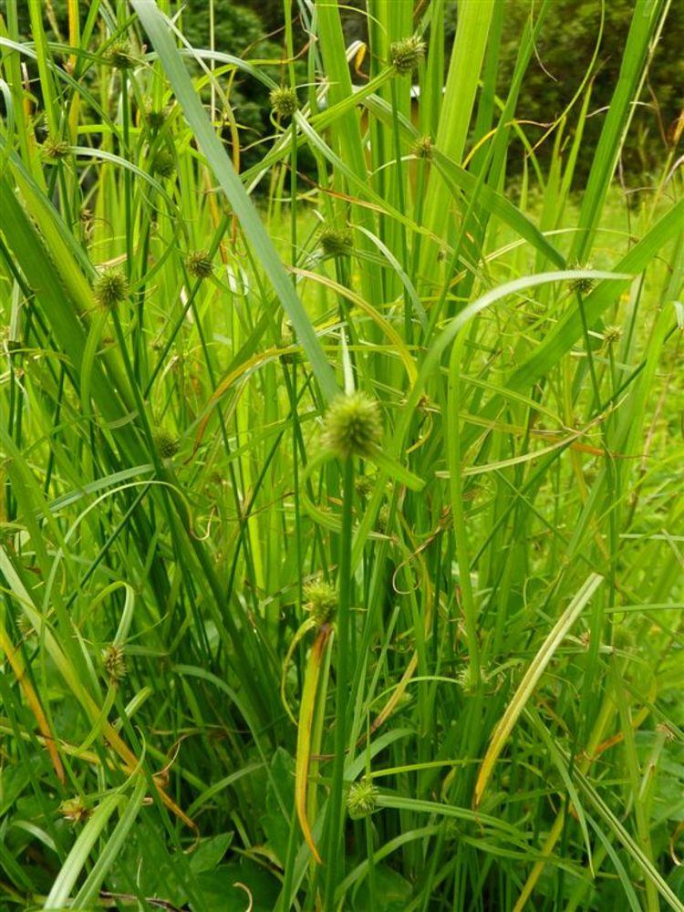 Kyllinga brevifolia