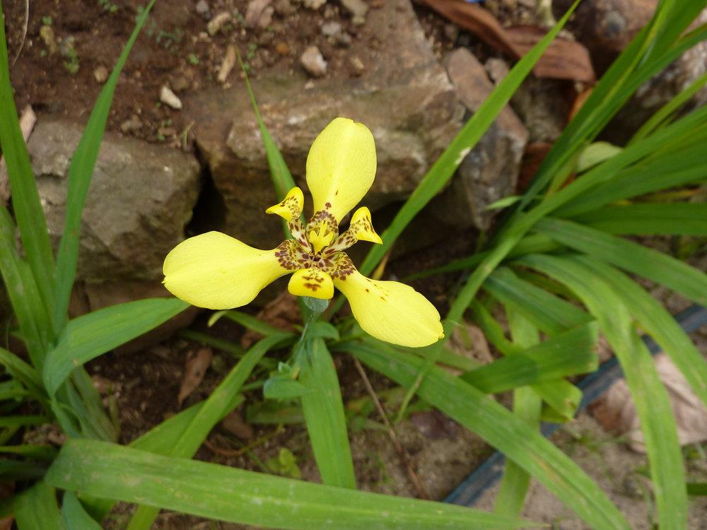 Iridaceae image