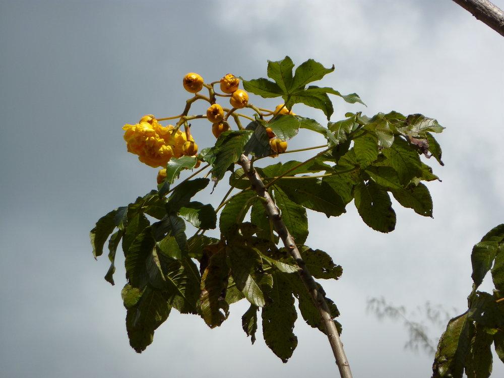 Cochlospermum vitifolium image