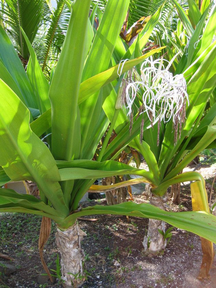 Amaryllidaceae image