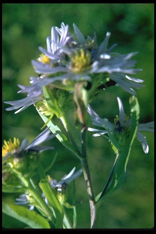 Aster foliaceus var. lyallii