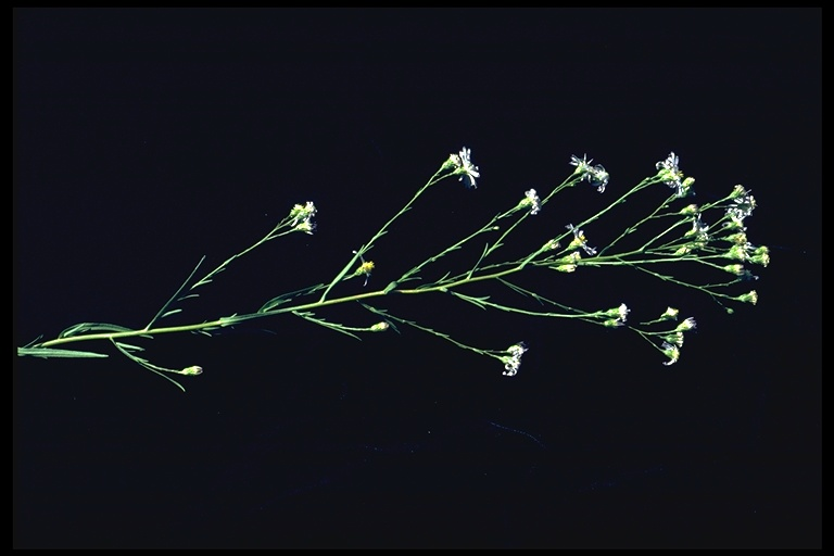 Aster occidentalis var. yosemitanus