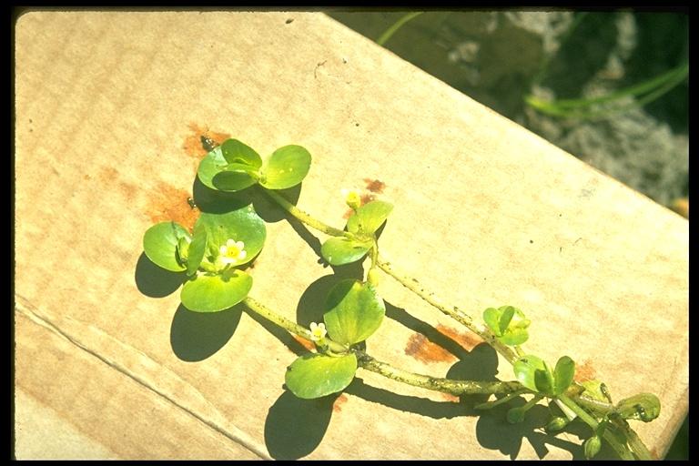 Bacopa rotundifolia