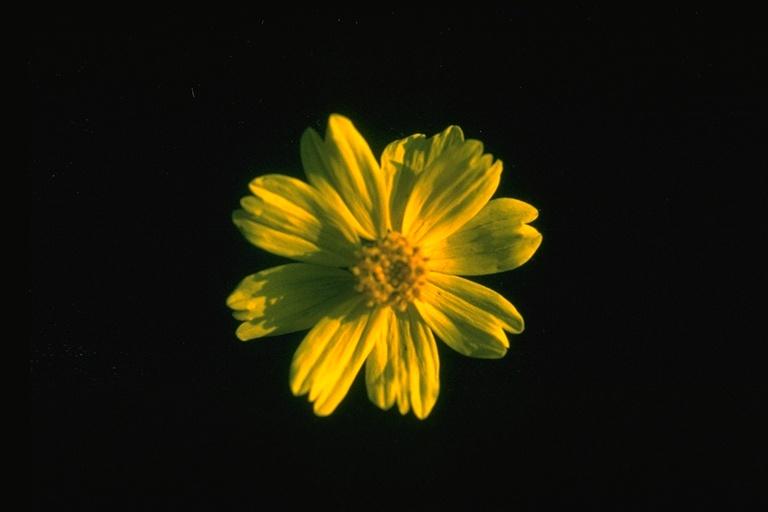 Coreopsis stillmanii