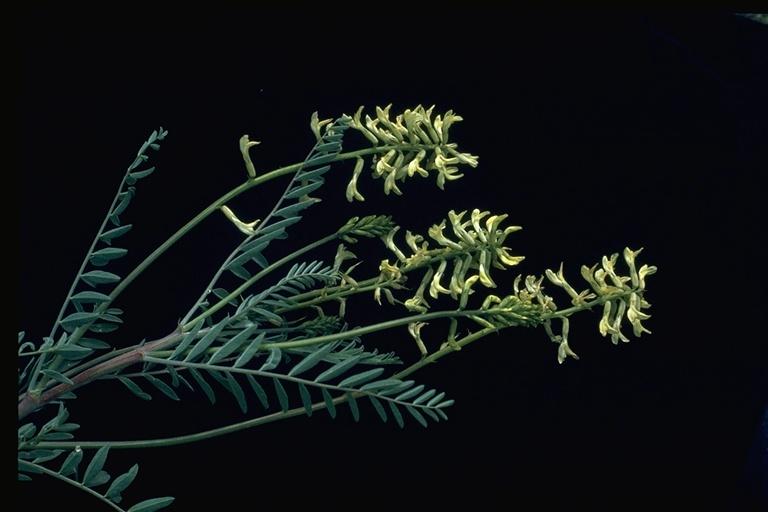 Astragalus douglasii