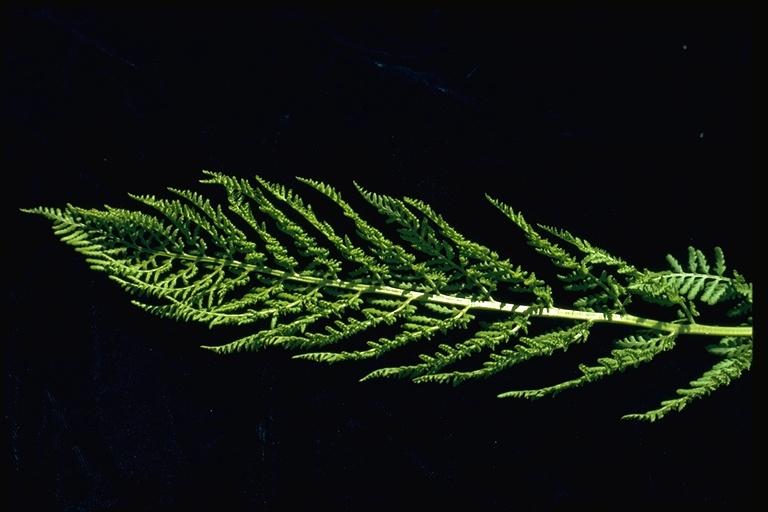 Athyrium distentifolium