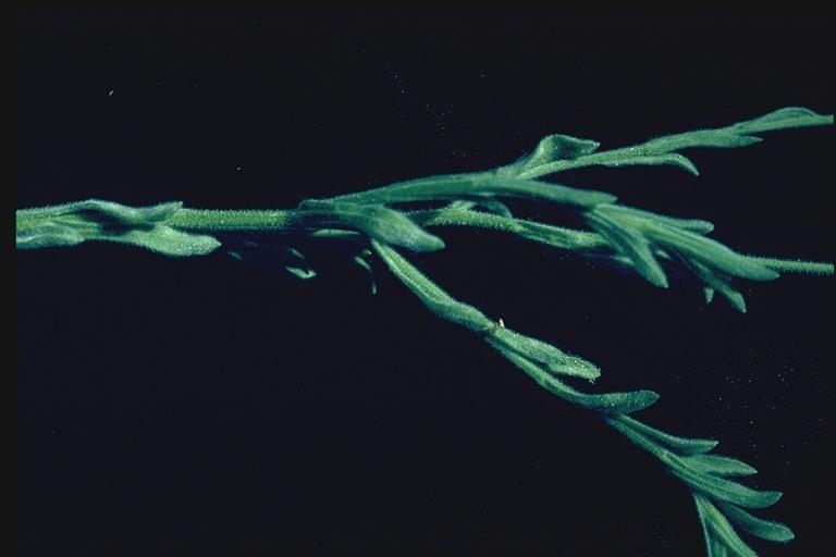 Erigeron pumilus var. intermedius