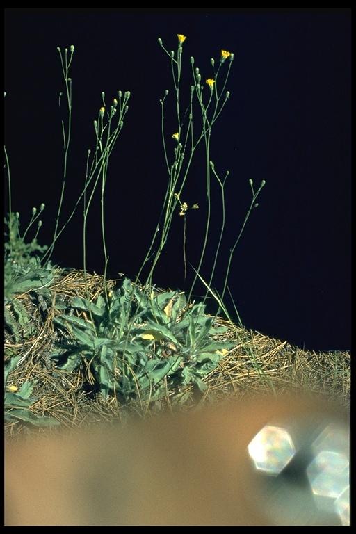 Hieracium nudicaule