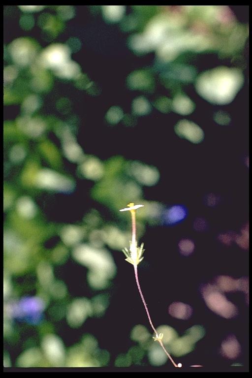 Linanthus oblanceolatus