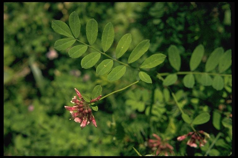 Lotus aboriginus