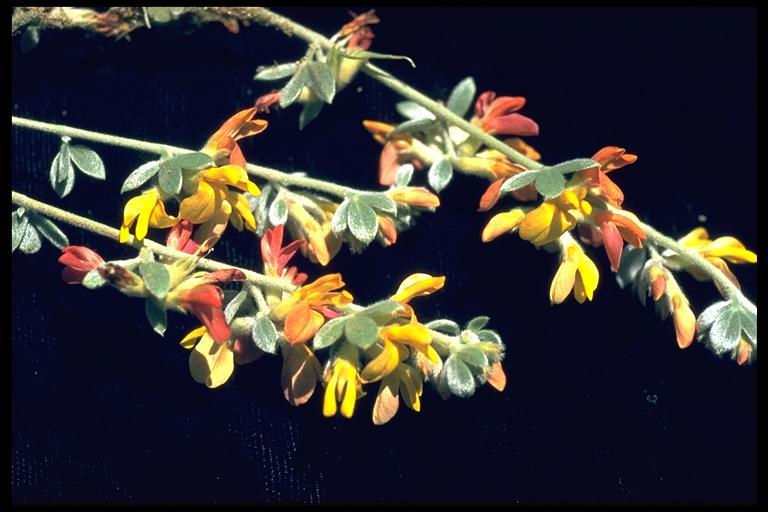 Lotus argyraeus
