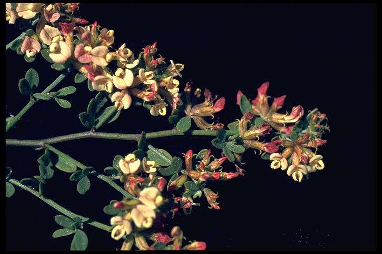 Lotus benthamii