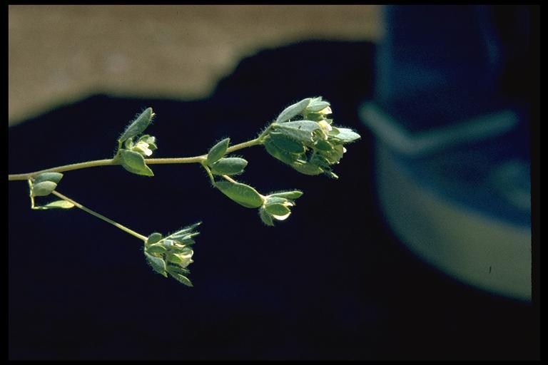 Lotus denticulatus