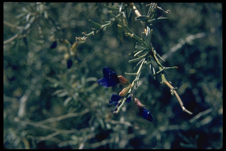 Psorothamnus arborescens var. simplicifolius