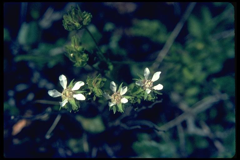 Horkelia cuneata ssp. sericea
