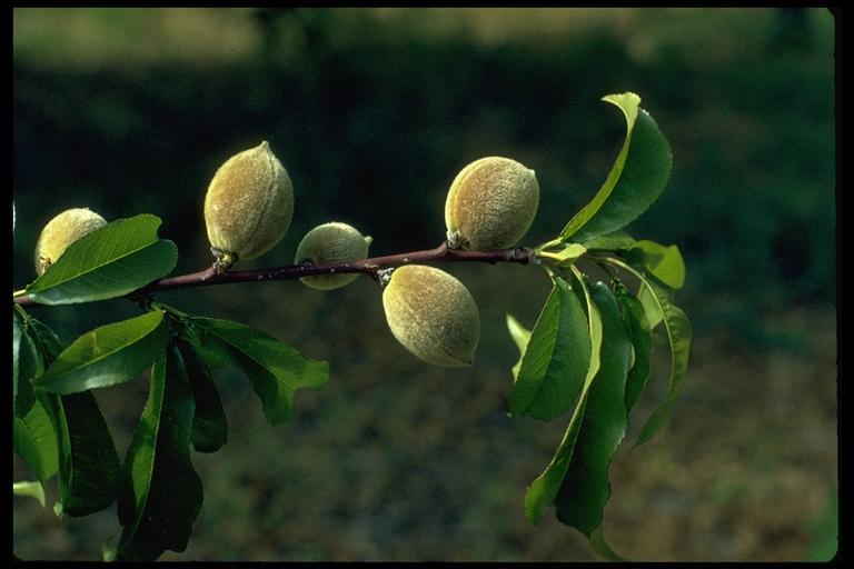 Prunus persica
