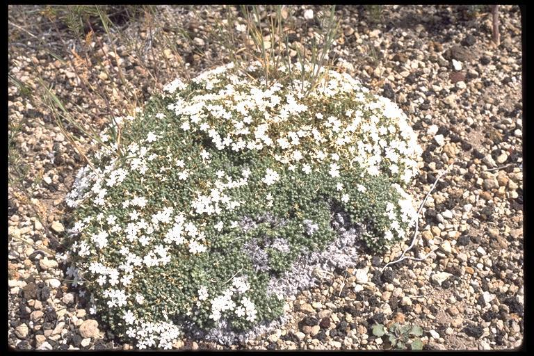 Phlox douglasii ssp. rigida