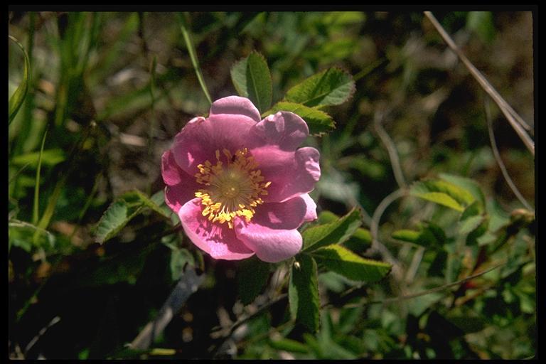 Rosa nutkana ssp. nutkana